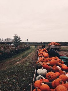 It's time! Harvesting of pumpkins for the autumn season and of course for Halloween!