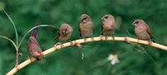 Spotted Munias on a bamboo branch | Male and four females The Beauty of Bird Photography by John & Fish