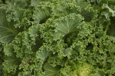 Planting, growing, and harvesting kale in the garden tips from The Old Farmer's Almanac.