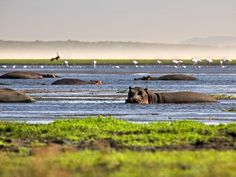 Hippos are among the diverse wildlife found at the Great St Lucia Wetlands Park now known as iSimangaliso Wetland Park. The park, which stretches along South Africa's eastern coast, is the continent's largest estuarine system, according to UNESCO . Durban South Africa, South Afrika, Shark In The Ocean, Wetland Park, Shark Diving, Wildlife Safari, Kwazulu Natal, Out Of Africa, Adventure Tours