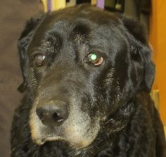 Cooter Labrador Retriever & Chesapeake Bay Retriever • Senior • Male • Large Clatsop County Animal Control Services Warrenton, OR Cooter is a senior dog at Clatsop County Animal Control Services.  Please share so Cooter can be rescued and find a home.
