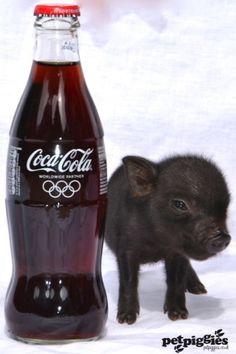 week old micro pig piglet......so CUTE!