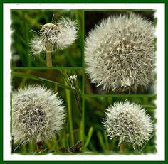 Dandelions.... Mosaic... | Flickr - Photo Sharing!