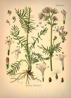 Valeriana, Garden Valerian, Baldrian, v.1 - Köhler's Medizinal-Pflanzen in naturgetreuen Abbildungen mit kurz erläuterndem Texte : - Biodiversity Heritage Library