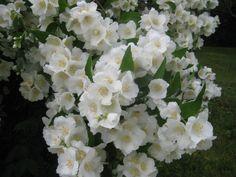 Jasmine bush at full bloom Jasmine Bush, Garden Plants, Countryside, Bloom, Nature, Ideas, Naturaleza, Thoughts, Natural