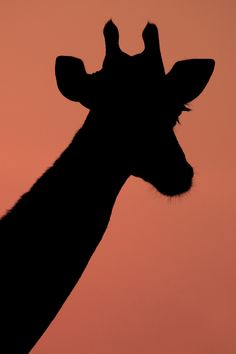 Giraffe silhoute Standing Tall at Sunrise by Xenedis Photography, via 500px