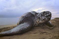 A leatherback sea turtle in Surinam's Galibi National Reserve. Scary Animals, Animals For Kids, Weird Animal Facts, Leatherback Turtle, Frans Lanting, Turtle Love, Wild Creatures, Vertebrates, Tortoises
