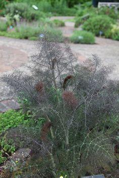 fennel - bronze Foeniculum vulgare 'Giant Bronze': 1.8m - sun - july to august - hardy - £8