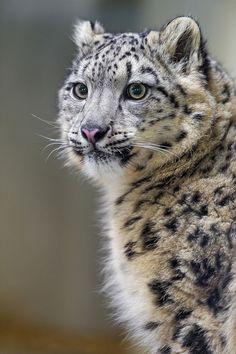 Snow Leopard                                                       …