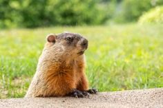 Will the groundhog see his shadow this year? We'll find out on Sunday, February Learn about Groundhog Day, including the origins and history of the holiday, as well as folklore and facts, from The Old Farmer's Almanac. Funny Animal Videos, Funny Animals, Cute Animals, Land Between The Lakes, Happy Groundhog Day, Jungfraujoch, Old Farmers Almanac, In And Out Movie