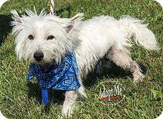 Westampton, NJ - Westie, West Highland White Terrier. Meet Champ D-61804, a dog for adoption. http://www.adoptapet.com/pet/11805574-westampton-new-jersey-westie-west-highland-white-terrier