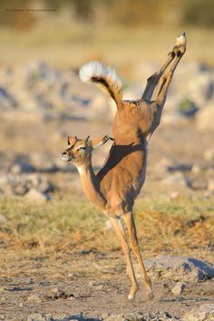A young Impala jumps in the late afternoon light in the Etosha National Park in Namibia.