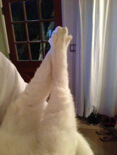 Sexy cat legs. #Stella #whitecat #cats #kitties #animallover