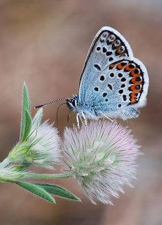 azul linda