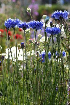 Bachelor Buttons/Cornflowers | Annie's Annuals
