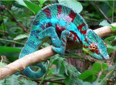 Camaleão Pantera: o rei das cores