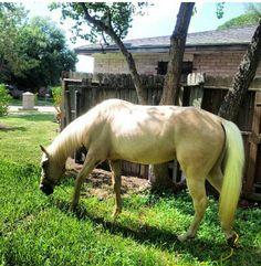 Lucero Palomino quater horse