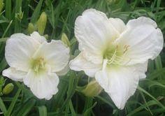 Hemerocallis Hybride 'White Temptation' - Taglilie (großblumig), 80 cm hoch, blüht 8 - 9