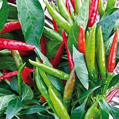 Thai Super Chili.  50,000 Scoville Units.  A long, skinny pepper, intense heat with intense flavor makes this pepper a favorite in many Asian dishes. Great flavor when red or dried. The pods grow upright 2 to 3 inches and mature from light green to red.