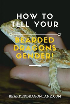 The easy way to tell your bearded dragon´s gender! http://beardeddragontank.com/how-to-tell-a-bearded-dragons-gender-two-easy-methods #beardeddragons #reptiles #pets #animals #beardeddragoncare