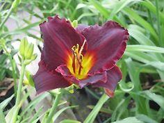 Click to view full-size photo of Salieri Daylily (Hemerocallis 'Salieri') at Dutch Growers Garden Centre