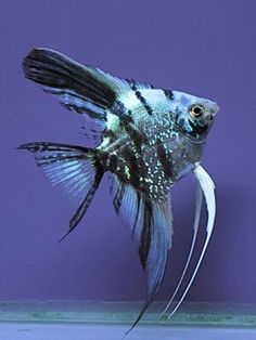 Blue marble Discus Fish, Betta Fish, Tropical Aquarium, Tropical Fish, Salt Water Fish, Freshwater Aquarium Fish, Underwater Life, Angel Fish, Beautiful Fish