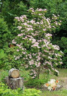 love Cornus kousa 'Satomi' - the pink kousa dogwood.I love Cornus kousa 'Satomi' - the pink kousa dogwood. Backyard Plants, Kousa Dogwood Tree, Garden Trees, Plants, Woodland Garden, Shade Garden, Garden Pictures, Garden Shrubs, Landscaping Plants