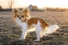 Chihuahua-In-Winter-