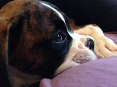 Sweet Lilly....baby boxer.
