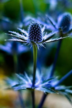 Eryngium, Sea Holly (by I love these flowers, a beautiful version of a thistle, spiky and very blue, but without the nasty thorns. Amazing Flowers, Wild Flowers, Beautiful Flowers, Spring Flowers, Beautiful Gorgeous, Beautiful Things, Sea Holly, Holly Blue, Dream Garden