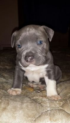 Keeta Very Cute Pitbull Puppy Vspets Hi I M Keeta I Am A