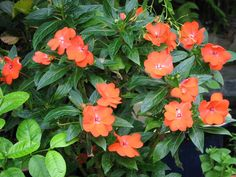 Impatiens hawkeri - New Guinea Impatiens 4