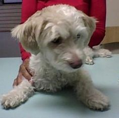 Joyce is an adoptable Poodle Dog in Parkland, FL. Hi! My names Joyce. I am a female, Poodle/Shih Tzu mix. About  10lbs and 1 year old. I am great with other dogs and people.I am super sweet and adora...