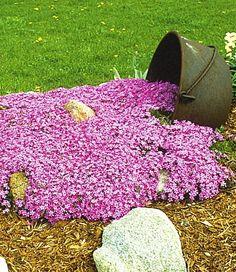 BALDUR-Garten Teppichphlox 'Emerald Pink',winterharter Bodendecker 3 Pflanzen…
