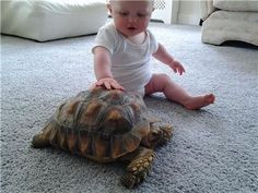 Pet Turtle... Is the Sulcata Tortoise the right breed of reptile for me ?