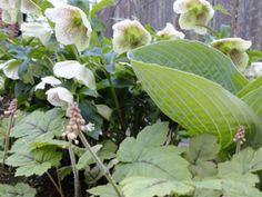 Helleborus orientalis with Hosta & Tiarella. (Image Copyright Garden Mentors inc via gardenhelp.org)