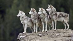 La caza del lobo gris enfrenta a activistas y autoridades de Minnesota