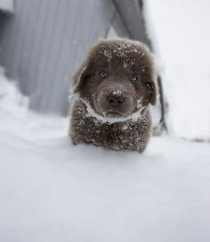 Sailor Loves the Snow! By Douglas Brown. Grey Newfoundland Puppy