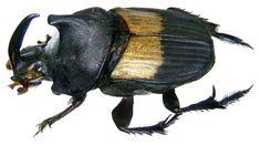 Family: Scarabaeidae Size: 18-19 mm Distribution: Namibia Location: Namibia, Outjo leg.det. U.Schmidt, 1994 Photo: U.Schmidt, 2008