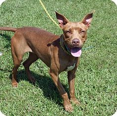 Newport, NC - American Pit Bull Terrier Mix. Meet Ferngully, a dog for adoption. http://www.adoptapet.com/pet/11362764-newport-north-carolina-american-pit-bull-terrier-mix