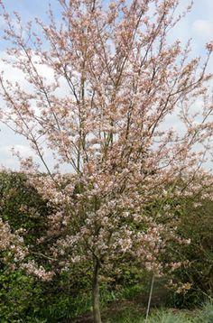 Amelanchier x grandiflora 'Robin Hill' | /RHS Gardening