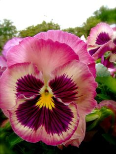 Pink viola also known as pansy. These would look good mass planted around the tulips. A mixture of pink shades would be ideal. Have to go searching the nurseries as the tulips are about to flower.