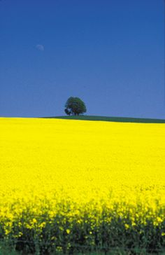 rape field for bioenergy #agriculture #plant #crop