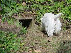 Earthdog   7 ideas   terrier, dog agility, border terrier