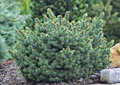 Picea abies 'Lanham's Beehive' Dwarf Norway Spruce. Found as a witch's broom nearly 10' up in a mature Picea abies. The needles of are longer and thicker than other dwarf cultivars and they have a sli