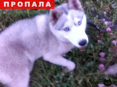 Пропала собака г.Серпухов http://poiskzoo.ru/board/read33303.html  POISKZOO.RU/33303 ПРОПАЛА СОБАКА  РЕПОСТ! @POISKZOO2 #POISKZOO.RU #Пропала #собака #Пропала_собака #ПропалаСобака #Серпухов #Пропала_собака_Серпухов