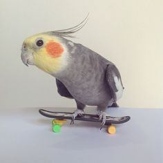 PHOTO OP: Extreme Cockatiel Via jackthecockatiel.