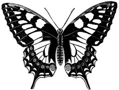 Swallow Tailed Butterfly which is one of the largest and most beautiful butterflies vintage line drawing or engraving illustration. Key Tattoos, Flower Tattoos, Black Tattoos, Ribbon Tattoos, Skull Tattoos, Black Butterfly Tattoo, Butterfly Drawing, Butterfly Stencil, Butterfly Design