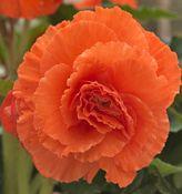 Orange Ruffled Begonias