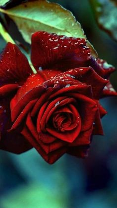 Amazing Flowers, Beautiful Roses, Pretty Flowers, Rose Images, Rose Pictures, Rose Flower Wallpaper, Beautiful Flowers Wallpapers, Beautiful Flower Arrangements, Rose Buds